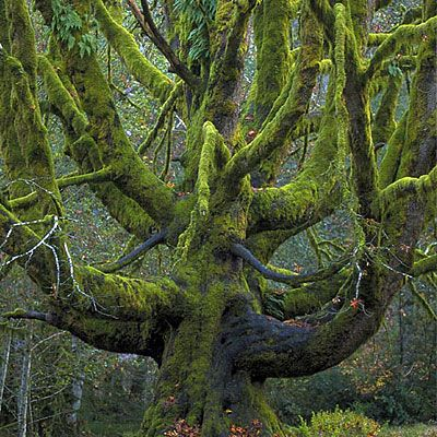 Old Big Leaf Maple Trees    Moss and really-big-tree enthusiasts love Olympic. This photograph was taken at the Fairholm camping grounds. Visit the Hoh and Quinault Rain Forests for more giant trees and moss-covered canopies.
