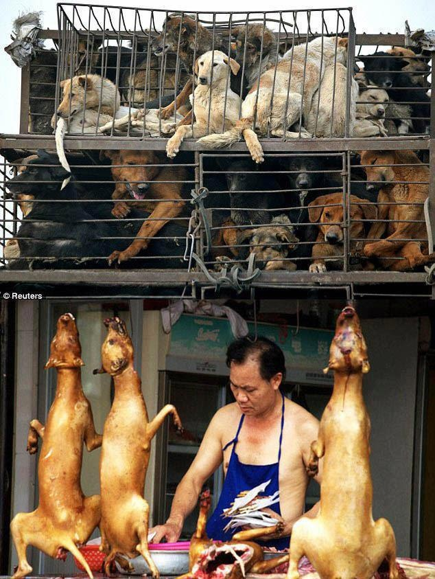"This is all part of the ""process"" in the meat trade - the dogs waiting to die never go short on terror - watching the terrible suffering of their companions being tortured & butchered before they die increases their adrenaline levels from all the stress suffered - which is believed (falsely) to tenderise their meat.  (From https://www.facebook.com/pages/Stop-the-Dog-and-Cat-Consumption-in-S-Korea/296145553736735?sk=info)"