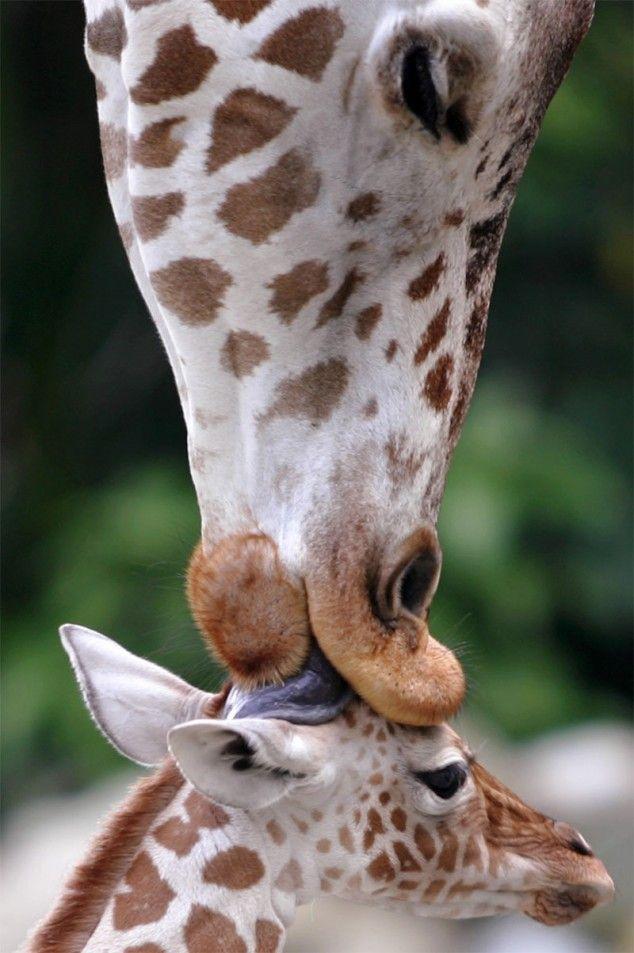 Картинки прикольные с жирафиком