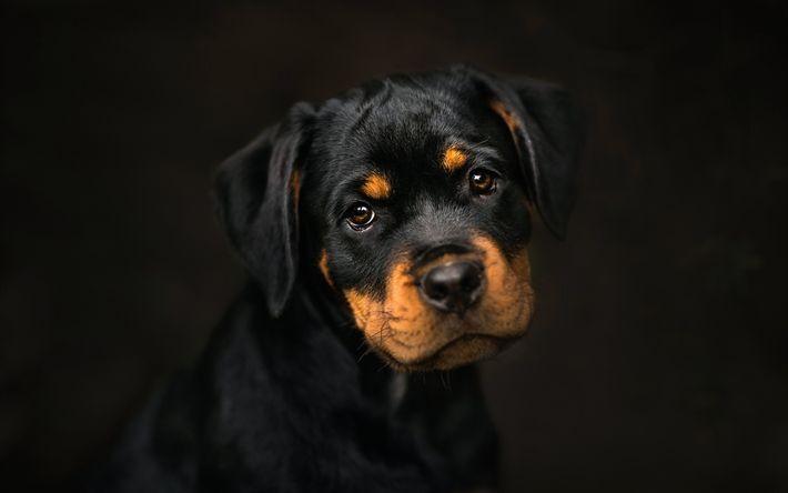 Download imagens cachorros, rottweiler, filhote de cachorro, animais fofos
