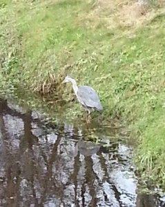 Wildlife on the White Horse River, Mountrath