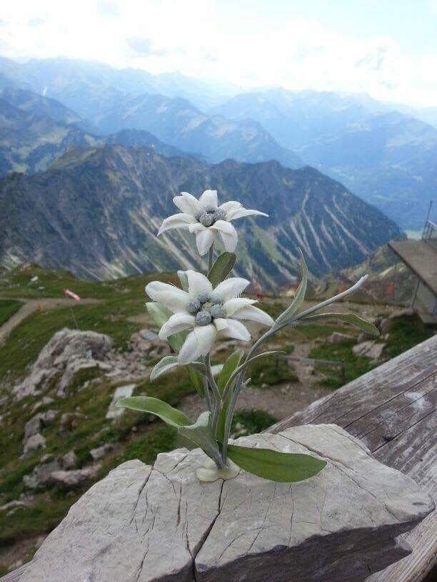 Nina On Twitter In 2021 Rare Flowers Alpine Flowers Wild Flowers