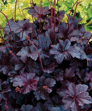 Look what I found on #zulily! Live Obsidian Coral Bells Plant #zulilyfinds