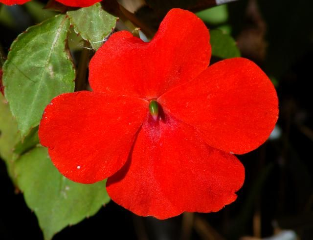 "What's the difference between annuals (such as this impatiens plant) and perennials? The answer is more complex than you might think. It's all about so-called ""life cycle,"" as I explain here: http://landscaping.about.com/od/landscapingdictionary/g/annual_plants.htm"