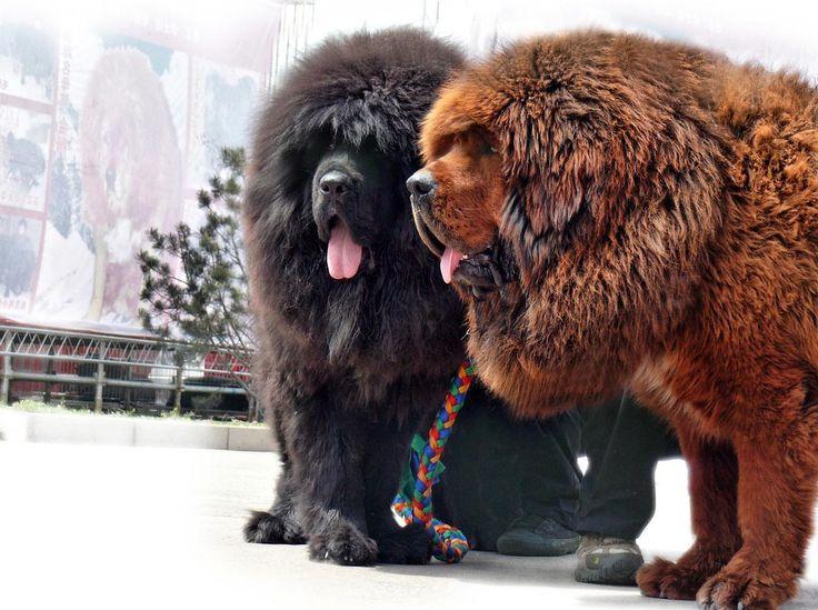 Dogo del Tibet o Tibetan Mastiff