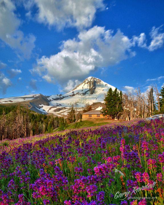 Cascade of wildflowers (penstemons) at sunrise near Cloud Cap Inn, Mount Hood National Park, Oregon