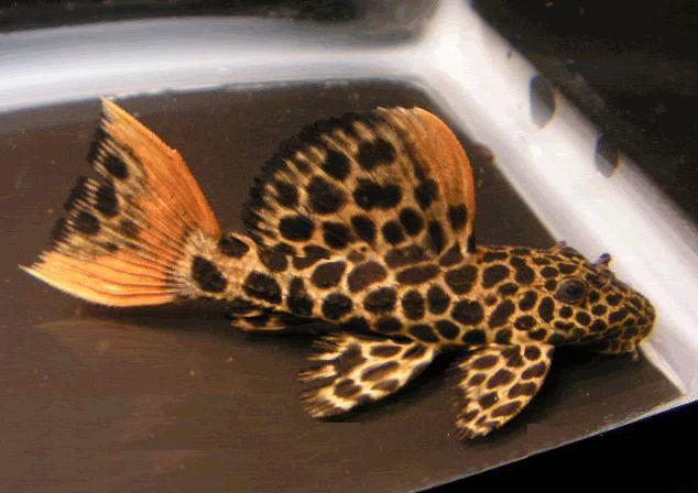 Cascudo Leopardo, espécie linda.