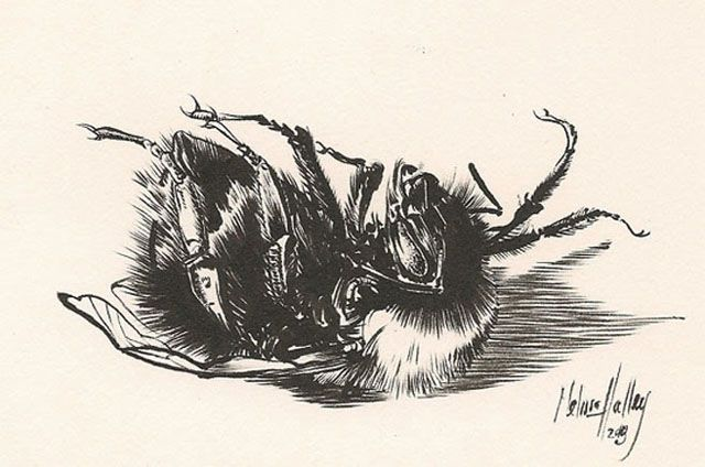 Art by Melissa Halley, Bumblebee II, 2013, Ink, 14 x 17 cm, Private Collection
