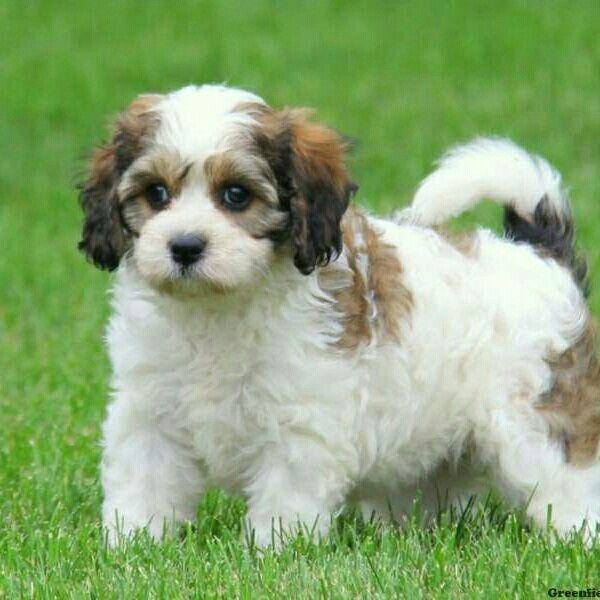 Pin On Maltese Shih Tzu And All Toy Favorites 2