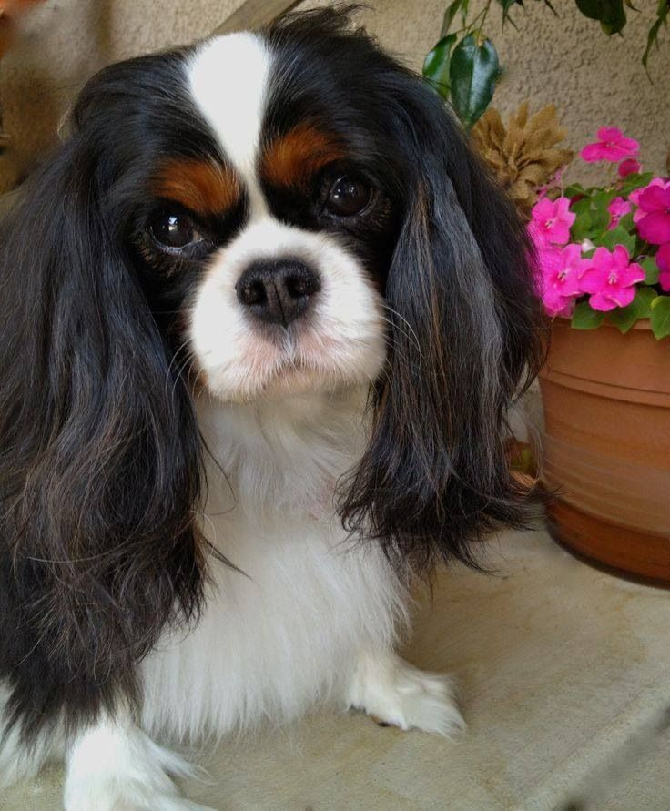 17 Best Images About Cavalier King Charles Spaniels In All