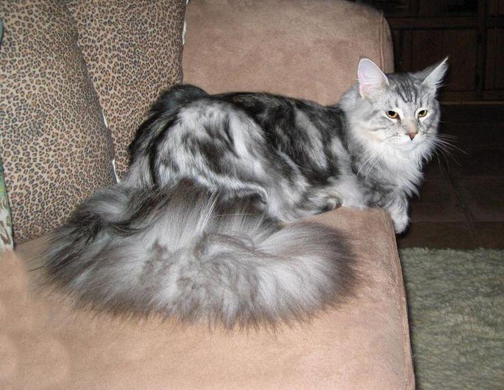 Maine Coon Kittens For Sale Kittens kittens