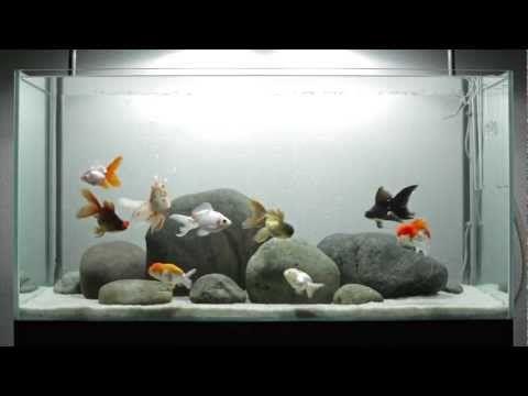 Amazing Fancy Goldfish Aquarium - YouTube