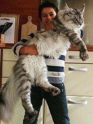 Os gatos gigantes chamam muita atenção