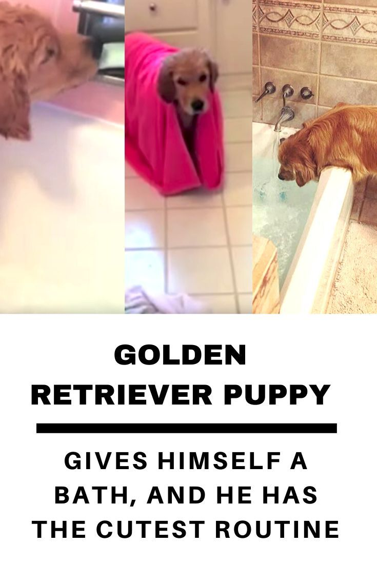 Brady The Four Month Old Golden Retriever Can Take Baths All On