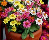 Zinnia Zahara Raspberry Lemonade - Sow Late Spring & Early Summer - HA 45cm