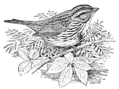 coloring pages sparrow - photo#17