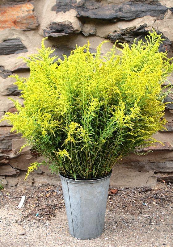 Une très jolie fleurs du mois d'août. Verge d'or ou Solidago Canadensis. Fait de magnifiques bouquets