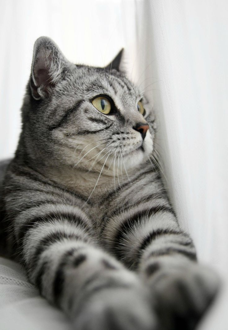 gorgeous silver tabby...my personal favorite after orange cats