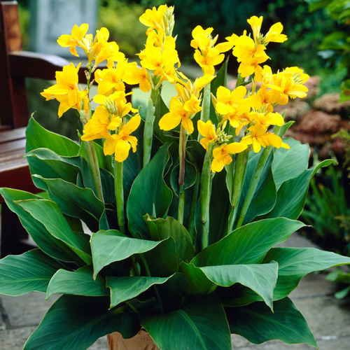 yara canna pack of 3 this dwarf canna packs more blooming beauty on its 2 foot body than. Black Bedroom Furniture Sets. Home Design Ideas