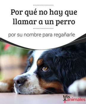 Por qué no hay que llamar a un perro por su nombre para regañarle  ¿Tu perro no se comporta como esperas? En este artículo compartimos algunos datos para que mejore su conducta y sepas por qué retarlo por su nombre no llega a buen puerto. #regañar #nombre #perro #consejos