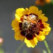 Monsanto Bee Colony Collapse