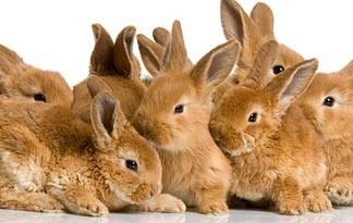 Litter of scruffy bunnies