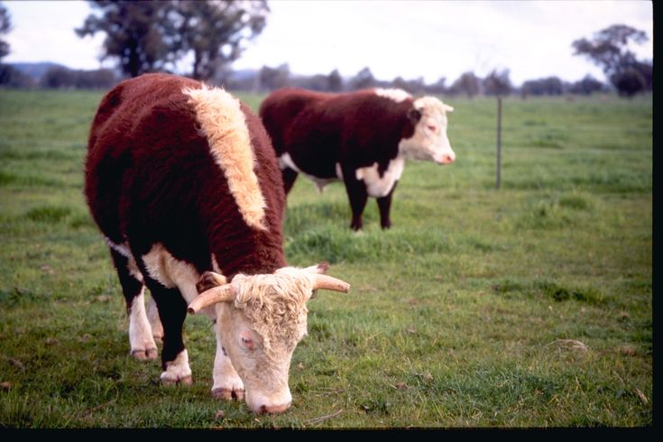 beef cattle - Google Search