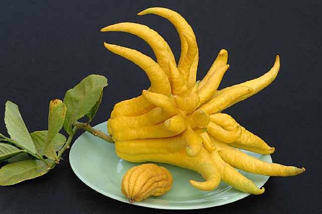 Buddha's Hand Citron  Use in jam or as an ornamental
