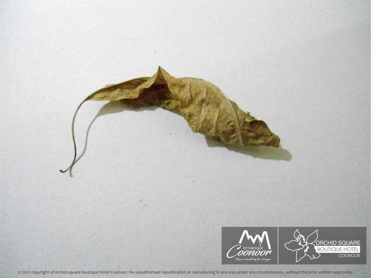 Coonoor dry leaves