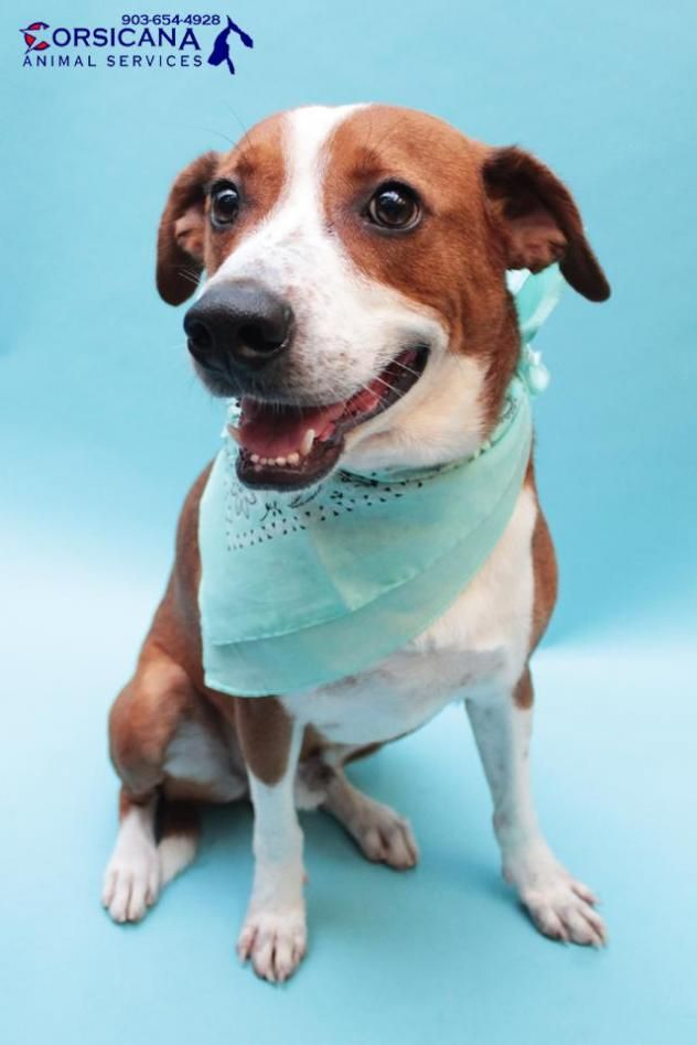 Rover is a Boxer/Shepherd mix & is available at City of Corsicana Animal Shelter, Corsucana,TX.