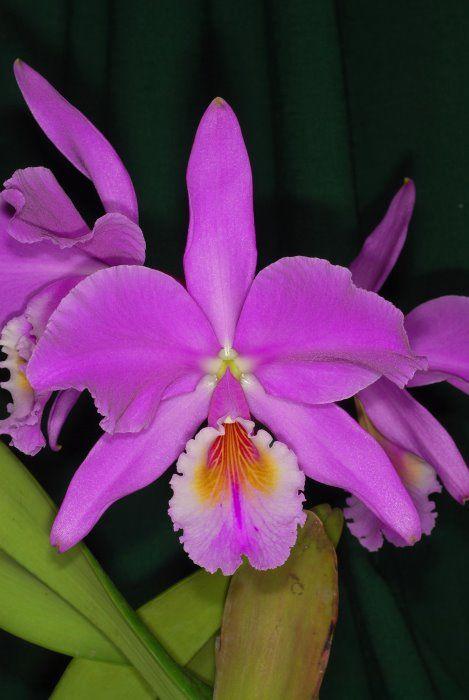 A flor nacional do Brasil é a Cattleya labiata, uma espécie de orquídea cujas flores se apresentam em tons variados de lilás e cor-de-rosa.