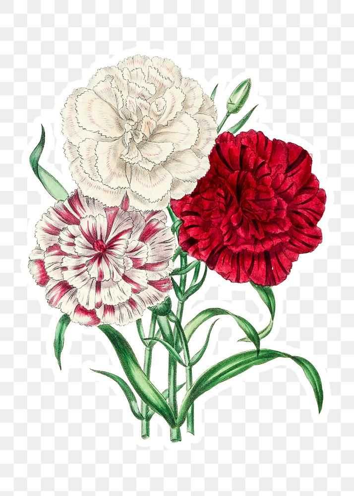 Vintage Dianthus Flowers Sticker With A White Border Design Element Free Image By Rawpixel Com Gade Dianthus Flowers Carnation Flower White Flower Png