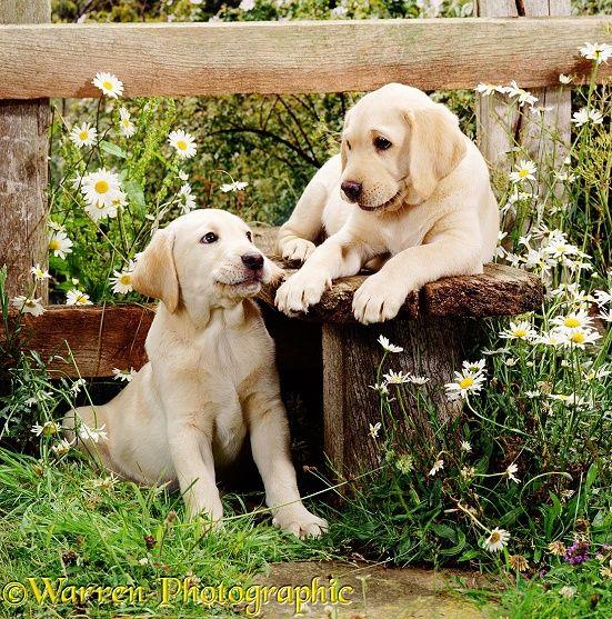 Labrador pups at a stile