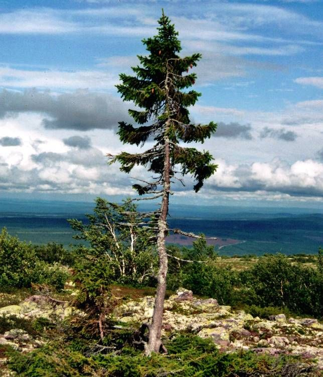 At a mere 16 feet in stature, this Norway spruce on Fulufjället Mountains in Sweden may not seem that impressive on first glimpse, but don't judge a book by its cover. Old Tjikko is 9,550 years. It is not the oldest tree on the planet per se, but it is the oldest single-stemmed clonal tree – meaning that while the trunk may have died off here and there, the same roots have endured for all this time.
