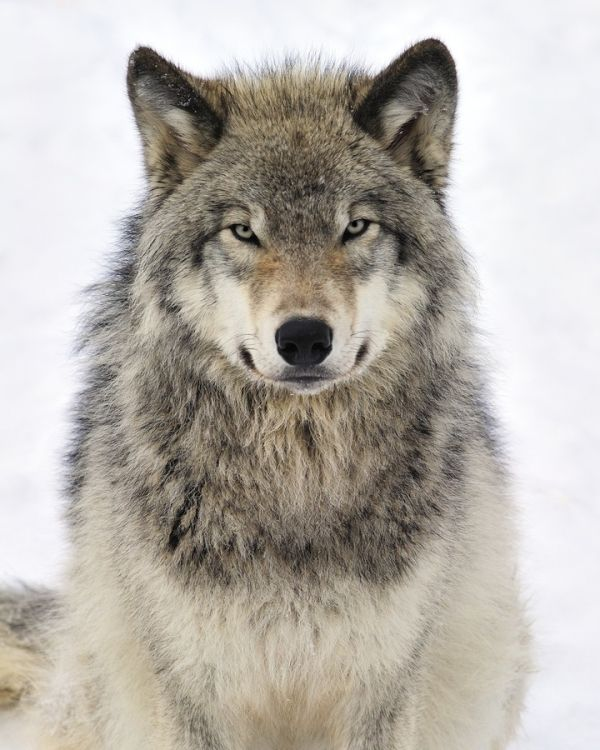 Timber Wolf By Szelann Timber Wolf Wolf Pictures Wolf Photography