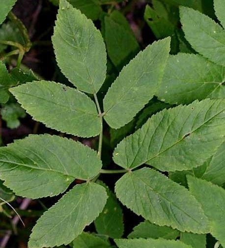 Zevenblad is voor iemand die ook in de natuur eten wil vinden een ideale plant. lekker een veelzijdig te gebruiken. Dus geen tuinsmansverdriet maar wildplukkervreugde.