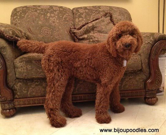 This website has everything you need to know to groom your poodles at home! AWESOME resource.