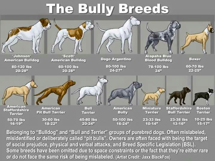 Different Breeds American Bulldogs