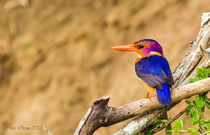 A Pygmy Kingfisher
