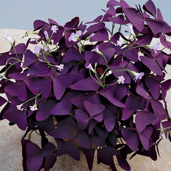 Purple Shamrock Plant (Oxalis Regnellii U0027Francisu0027)   Indoor And Windowsill  Plants
