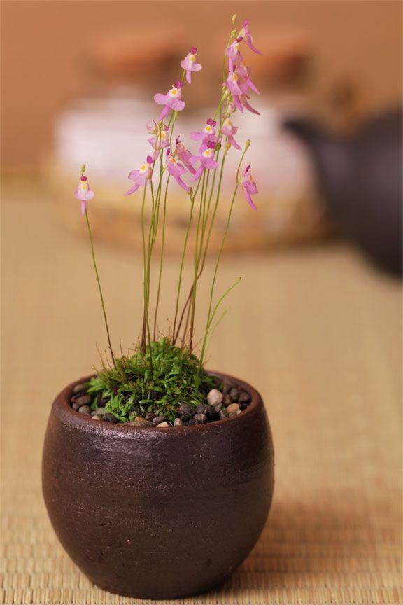 クリオネゴケ Kurionegoke (Utricularia sandersonii) - Carnivorous plants