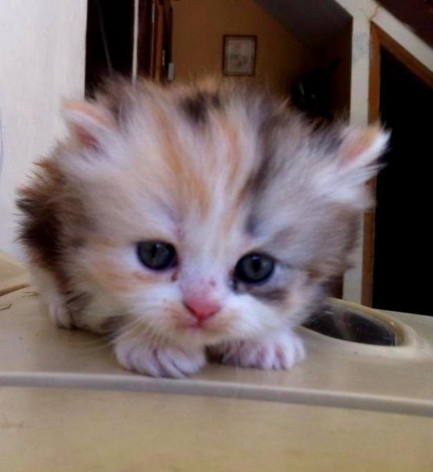 Persian cat for sale minneapolis