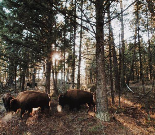 "allthetreesofthefield: "" Dat bison. Dat bison breath. """