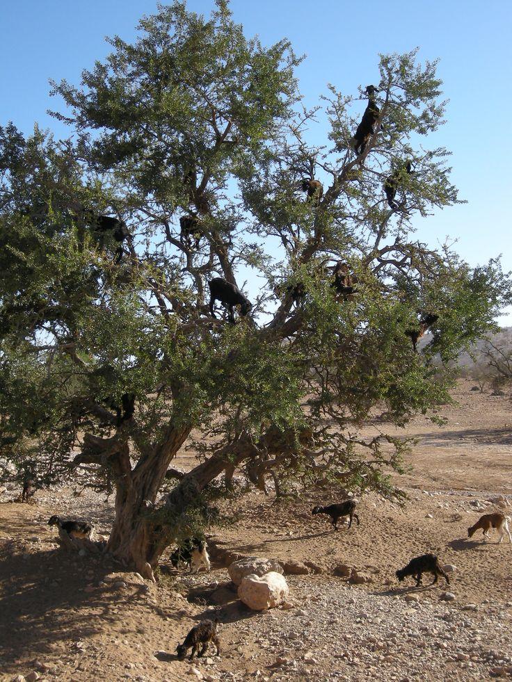 Maroc, chèvres dans un arganier, 2009. Photo F Bertel.