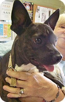 Rockaway, NJ - Boston Terrier Mix. Meet Gunner (JS-TN) MOPS, a dog for adoption. http://www.adoptapet.com/pet/11969590-rockaway-new-jersey-boston-terrier-mix