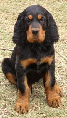Gordon Setter Pup ~ Classic Look & Trim