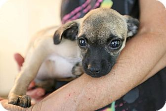 Hagerstown, MD - Pug/Chihuahua Mix. Meet Grivet, a puppy for adoption. http://www.adoptapet.com/pet/18473869-hagerstown-maryland-pug-mix
