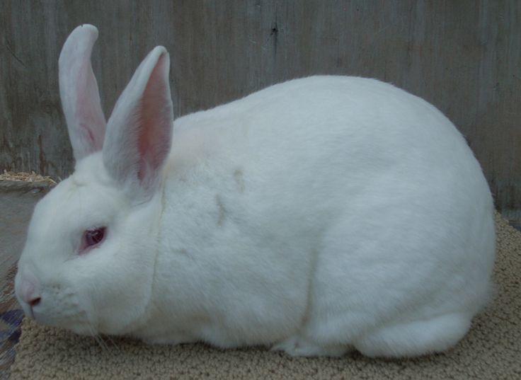 new zealand rabbits ile ilgili görsel sonucu