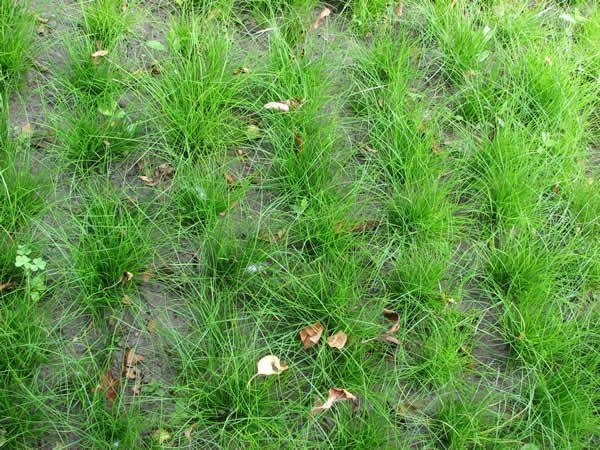 """Carex eburnea (Ivory Sedge), full sun to full shade, dry soil, 6"""" tall"""