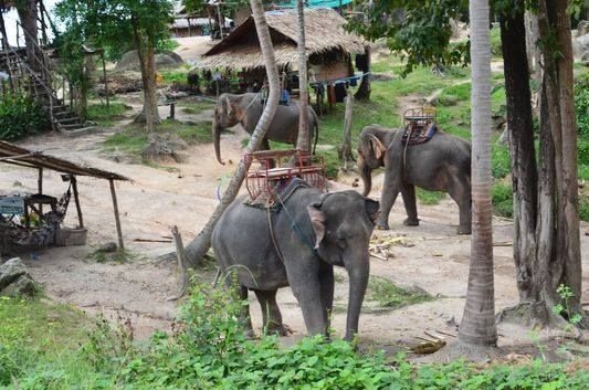 Elephant trekking - The major attraction for many tourists in Koh Phangan is the herd of wild Asian elephants that live in the Elephant Camp near Baan Tai village on the way to Thong Nai Pan. #elephant #thailand #kohphangan #elephanttrekking